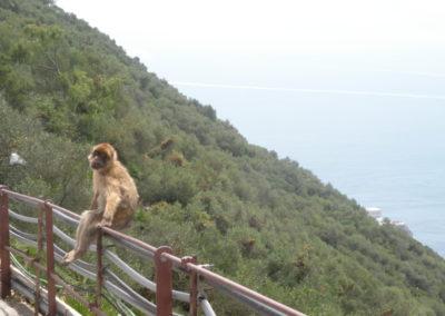 singe-montagne-gibraltar